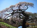 IMG_0368しだれ桜.JPG