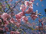 IMG_0384八重桜.JPG