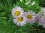 IMG_0428春紫苑.JPG