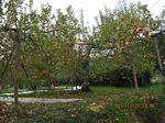 IMG_2851リンゴ.JPG