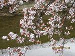 IMG_4236桜.JPG