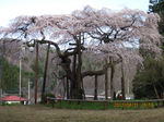IMG_4241地蔵桜.JPG