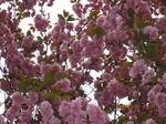 IMG_4261八重桜.JPG