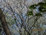 IMG_4442山桜.JPG