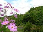 Img_9388コスモス.jpg